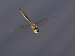 Australian Emerald (Vas Smilevski) Tags: nature insect dragonflies dragonfly wildlife ngc flight australia olympus 300mm nsw omd dif em1 m43 insectsinflight hemicorduliaaustraliae australianemerald dragonfliesinflight getolympus olympusau olympusomdem1 olympusinspired