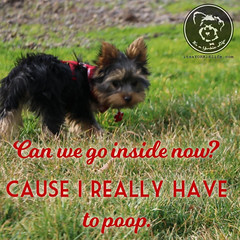 Ah, Yorkies. What are you going to do? ((Shakes Head)) (itsayorkielife) Tags: yorkiememe yorkie yorkshireterrier quote