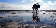 galaad (Emma Plume) Tags: chien mer reflet ciel bordercollie nuage paysage ileder algues atlantique ocan stemarie