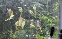 Just a few Parakeets on My Feeders  (5) Taken through the Caravan window (John Carson Essex) Tags: thegalaxy thegalaxystars rainbowofnature supersix