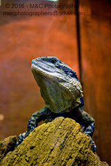 The Might Lizard (Mark & Cy Photos) Tags: life lighting camera light wild portrait pet detail up animal rock vertical stone closeup composition photography photo still close view angle natural reptile interior crafts wildlife bottom profile arts style gear indoor artificial lizard beast format material framing dslr setting orientation lizards animalia genre chordata tetrapoda squamata lacertilia sauropsida flickryes worldgeolat5263092055geolon705942929geotaggedgowranirelandirlleinsterartscraftsphotographyworkflowgeocodedyesflickryessettinginteriorindoorphotogenrestyletypewildlifepetgearstillcameradslrorientationportraitlightinga geocodedyes