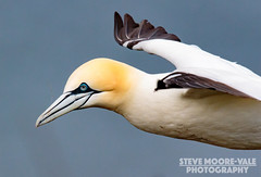 Northern Gannet - Morus bassanus. In flight (Steve Moore-Vale) Tags: england birds flying unitedkingdom wildlife yorkshire flight places aves florafauna fotobuzz northerngannet morusbassanus rspb bemptoncliffs canon100400f4556lisusmmarkii