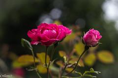 Roses. (Crilion43) Tags: rose france vreaux paysage jardin centre canon divers fleurs cher blanche brouillard herbe jaune nature rouge rflex saumon