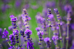 lavender (alex_bruskov) Tags: jupiter9 sony flowers nature nex3 bokeh lavender manual m42 russianlens
