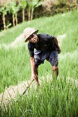 Rice Field (~Xavi~) Tags: bali indonesia ricefield ubud