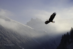Eagle [Explored] (Bob.Hurley - Fotografiestudent) Tags: mountains canon landscape switzerland eagle 7d oilpaint swissalps 55250mm