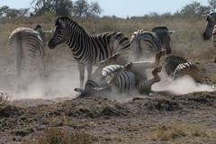 Dopo l'abbeverata (ferrosette) Tags: namibia animali etosha zebre