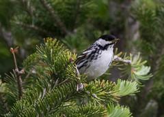 Blackpoll Warbler, Monchy Road (frank.king2014) Tags: ca canada gander blackpollwarbler newfoundlandandlabrador