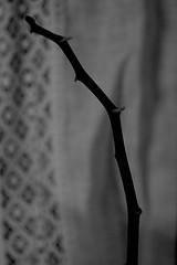 Decadence (Daphne Wolfsong) Tags: blackandwhite plants white plant black orchid macro nature monochrome sad depression conceptual emotive decadence methaporical