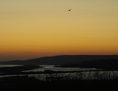 Mid-summer night... to the South Dorset Ridgeway...  looking over Portland Harbour, the Fleet (Moonfleet) and Lyme Bay... (Sue - happy sparrow) Tags: bird june portland midsummer seagull dorset fortuneswell commongull lymebay theridgeway moonfleet portlandharbour thefleet