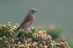 Cock Linnet (Tim Melling) Tags: linnet cardueliscannabina male cock west yorkshire gorse timmelling