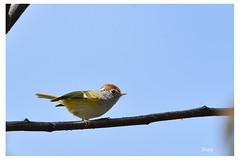 Chestnut-crowned Warbler (shivanayak) Tags: bhutan warbler chestnutcrownedwarbler seicercuscastaniceps seicercus chestnutcrowned castaniceps