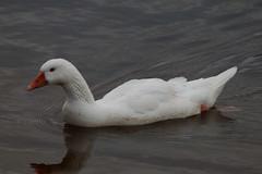 mistaken identity.... (monika.carrie) Tags: scotland wildlife aberdeen dee monikacarrie