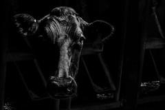 20150715_arlington_cows_steers-68.jpg (UWMadisonCALS) Tags: bw arlington barn blackwhite cows head dairy ars holstein