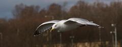 Herring Gull (themadbirdlady) Tags: bird gull larusargentatus herringgull birdinflight laridae charadriiformes levenbeach larusargentatusargentatus