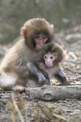 Baby-sitter (Masashi Mochida) Tags: baby animal wildlife babysitter awaji awajimonkeycenter