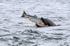 Moray Firth Dolphin (Ally.Kemp) Tags: wild scotland fishing dolphin hunting salmon free scottish dolphins moray blackisle firth bottlenose fortrose