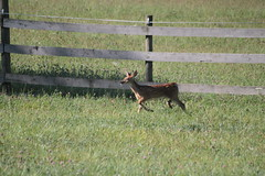 IMG_9107 (thinktank8326) Tags: nature wildlife deer spots fawn whitetaileddeer babyanimal