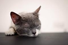 Sleepy cat (Silver Nicte) Tags: cat gato kitty kitten gatito cute tierno furry peludo sleeping asleep grey gris blanco white whiteandgrey blancoygris depthoffield profundidaddecampo canon canont2i silvernicte         pet animal mascota