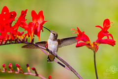 Rufous Hummingbird (Female/Immature) in the Crocosmia (wanderinggrrl) Tags: red motion flower bird nature beautiful female flying hummingbird background air contest wing perched immature crocosmia mid humming hovering picofweek rufous shutterstock alamy year4week7 tannercontest
