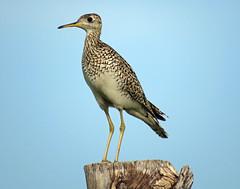 IMG_3168-copy (lbj.birds) Tags: bird nature wildlife kansas sandpiper flinthills uplandsandpiper