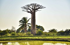 Baobab (Rod Waddington) Tags: africa african afrika afrique madagascar landscape baobab rice field farming