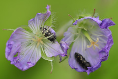 Destruction of beauty (holdit.) Tags: beetle geranium wildflower naturemasterclass