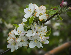 Blossom (QuarryClimber) Tags: newhampshire orchard londonderry macksapples londonderrynewhampshire