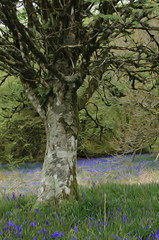 Bluebells Oil effect (Helen @ Heart Of Glass) Tags: trees bluebells 35mm nikon hill nikkor abbott stoke lewesdon beaminster nikond7000