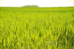 19/52. San Llorente ((((AnaLis)))) Tags: naturaleza color verde planta luz sol nikon paisaje campo palencia 52weeks 52semanas d7000 naturalezacautivadora sanllorente