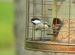 Chickadee (Katie Zudjelovic) Tags: bird chickadee