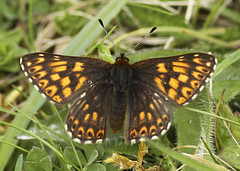 Butterfly - Duke of Burgundy (Prank F) Tags: macro nature closeup butterfly insect wildlife dunstable wildlifetrust dukeofburgundy totternhoequarry bedsuk