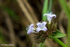 Flor do Cerrado 3 (Carlos Bacci) Tags: flora minas natureza flor mg beleza cerrado viagens vegetação delfinópolis efêmera flordocerrado