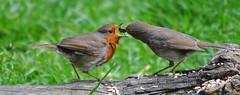 They're at it again! (Ian A Photography) Tags: nature robin birds nikon gardenbirds ukwildlife ukbirds nikonflickraward