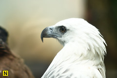 Eagle (NhatNoen) Tags: animal zoo eagle 105 f25 ais d7000