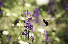 just can't get enough... (dean.janiak) Tags: nikon bee pollinate nationalarboretum d90 deanjaniak