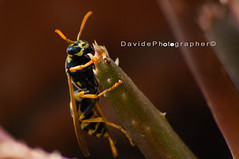 Vespa 3 (Davide Photo) Tags: macro nature canon insect vespa wasp natura bee ape 70300mm insetto 70300 canon1000d