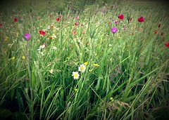 Wild Flowers (Charliebubbles) Tags: