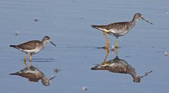 Yellowlegs Comparison (Keith Carlson) Tags: sandpipers shorebirds lesseryellowlegs tringamelanoleuca tringaflavipes greateryellowlegs