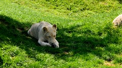 White Lions (Katherine Ridgley) Tags: toronto cat mammal zoo feline lion bigcat carnivore torontozoo whitelion panthera pantheraleo felidae pantheraleokruger