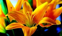 amaralina.... (mauroheinrich) Tags: flowers flores flower macro brasil 50mm nikon natureza 14 flor nikkor nikondigital riograndedosul amarela nikonians floresdocampo ibirub flordocampo nikonprofessional d300s nikonword mauroheinrich