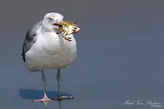European Herring Gull & Crab (Mitch Vanbeekum Photography) Tags: statepark seagull gull crab barnegatlighthouse larusargentatus europeanherringgull barnegatlightnj canon5dmkiii canonef500mmf4is canon14teleconvertermkiii