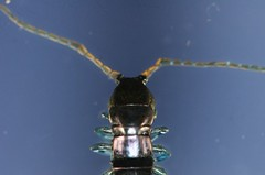 Rhysida nuda (aka blue leg)  121128 (h35312) Tags: blue aka leg nuda  0068 scolopendromorpha scolopendridae 121128  rhysida