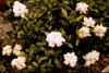 "Gardenia Dwarf • <a style=""font-size:0.8em;"" href=""http://www.flickr.com/photos/101656099@N05/9733565331/"" target=""_blank"">View on Flickr</a>"