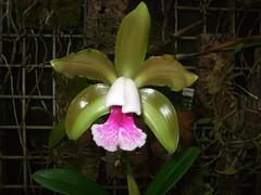 Cattleya tenuis (Brigitte0102) Tags: bild