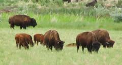 grazing (rovingmagpie) Tags: utah buffalo painted antelopeisland bison antelopeislandstatepark americanbison bisonbison fieldinggarrranch bisonbisonbison 44qn