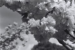 Regents Park Blossom (jchiangg) Tags: uk blackandwhite bw london film pull unitedkingdom streetphotography delta iso bloomsbury canona1 3200 800 ilford