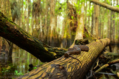Brown water snake (Nerodia taxispilota) in a cypress dome (Don Filipiak) Tags: evergladesnationalpark habitat herps basking insitu nerodiataxispilota herping slogging brownwatersnake herpphotography cypressdome nikonwideangle nikond7000 garlscoastalkayaking