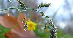 Juwelen der Natur (1) (Harald Steeg) Tags: herbst natur gras tropfen reflexionen makros flickrsfinestimages1