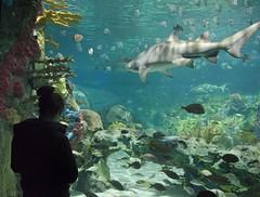 Shark - D7K 5924 ep (Eric.Parker) Tags: november fish toronto aquarium underwater cntower tank undersea 2013 rainingers